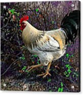 Backyard Rooster Acrylic Print