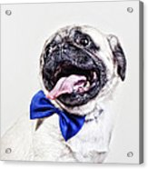 Bacon The Pug Acrylic Print