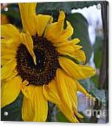 Bad Petal Day  Acrylic Print
