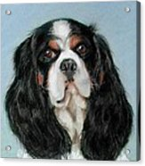 Bailey The Cavalier King Charles Spaniel Acrylic Print