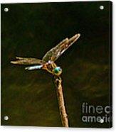 Balancing Dragonfly Acrylic Print