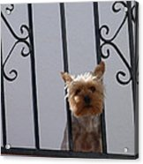 Balcony Dog Acrylic Print