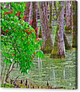 Bald Cypress And Red Buckeye Tree At Mile 122 Of Natchez Trace Parkway-mississippi Acrylic Print
