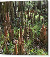 Bald Cypress Knees In Congaree National Park Acrylic Print