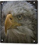 Bald Eagle 26 Acrylic Print