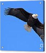 Bald Eagle 3772 Acrylic Print