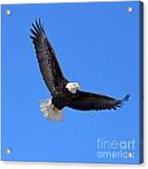Bald Eagle 3773 Acrylic Print