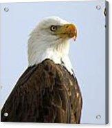 Bald Eagle-a Acrylic Print