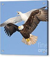 Bald Eagle And Greater Black-backed Gull Acrylic Print