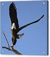 Bald Eagle Ascent 2 Acrylic Print