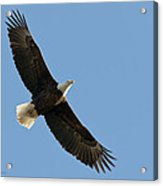 Bald Eagle At Bridger Mt Acrylic Print