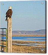 Bald Eagle At Lower Klamath National Wildlife Refuge Acrylic Print
