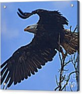 Bald Eagle At Take Off   #6109 Acrylic Print