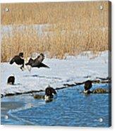 Bald Eagle Battle Acrylic Print