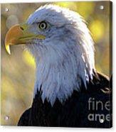 Bald Eagle Beauty Acrylic Print