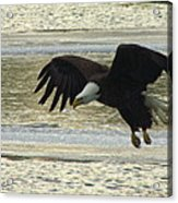Bald Eagle Coming In For Landing Acrylic Print by Mitch Spillane