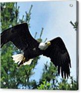 Bald Eagle Feeding 2 Acrylic Print