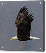 Bald Eagle Flight In Snow Acrylic Print