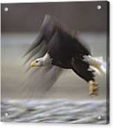 Bald Eagle Flying Alaska Acrylic Print