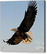 Bald Eagle Flying With Fish In Its Talons Acrylic Print