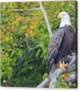 Bald Eagle In Fall Colors Animals Acrylic Print