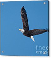 Bald Eagle In Flight 2 Acrylic Print