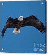 Bald Eagle In Flight 4 Acrylic Print
