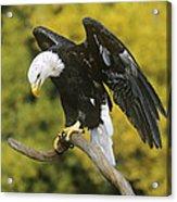 Bald Eagle In Perch Wildlife Rescue Acrylic Print
