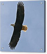 Bald Eagle In Sandspit Bc Acrylic Print