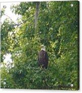 Bald Eagle In Sweetgum Tree Acrylic Print
