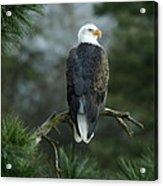 Bald Eagle In Tree Acrylic Print