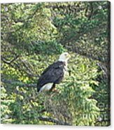 Bald Eagle Acrylic Print by Jennifer Kimberly