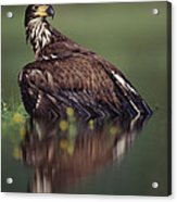 Bald Eagle Juvenile British Columbia Acrylic Print