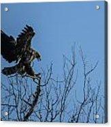Bald Eagle Juvenile Landing In Tree Top Acrylic Print