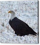 Bald Eagle  Acrylic Print by Kimberly Maiden