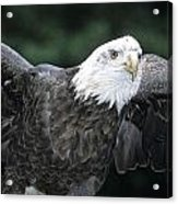 Bald Eagle Landing On Prey Acrylic Print