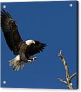 Bald Eagle Landing On Snag Acrylic Print
