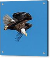 Bald Eagle Launches Into The Clear Sky Acrylic Print