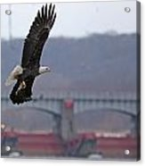 Bald Eagle Leaves With Fish At Lock And Dam 14 Acrylic Print