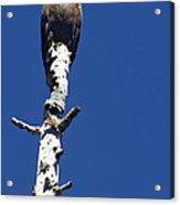 Bald Eagle On A Perch   #2698 Acrylic Print
