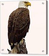 Bald Eagle On A Snag Acrylic Print