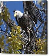 Bald Eagle On Nest Near The Oxbow Acrylic Print
