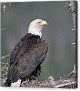 Bald Eagle On Nest With Chick Alaska Acrylic Print by Michael Quinton