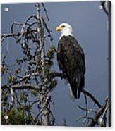 Bald Eagle On Watch Acrylic Print