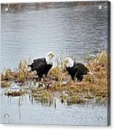 Bald Eagle Pair Acrylic Print