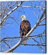 Bald Eagle Perched Acrylic Print