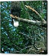 Bald Eagle Poses Acrylic Print
