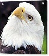 Bald Eagle - Power And Poise 03 Acrylic Print