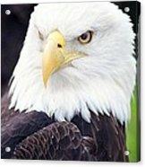 Bald Eagle - Power And Poise 04 Acrylic Print