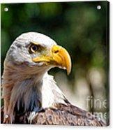 Bald Eagle Profile Acrylic Print